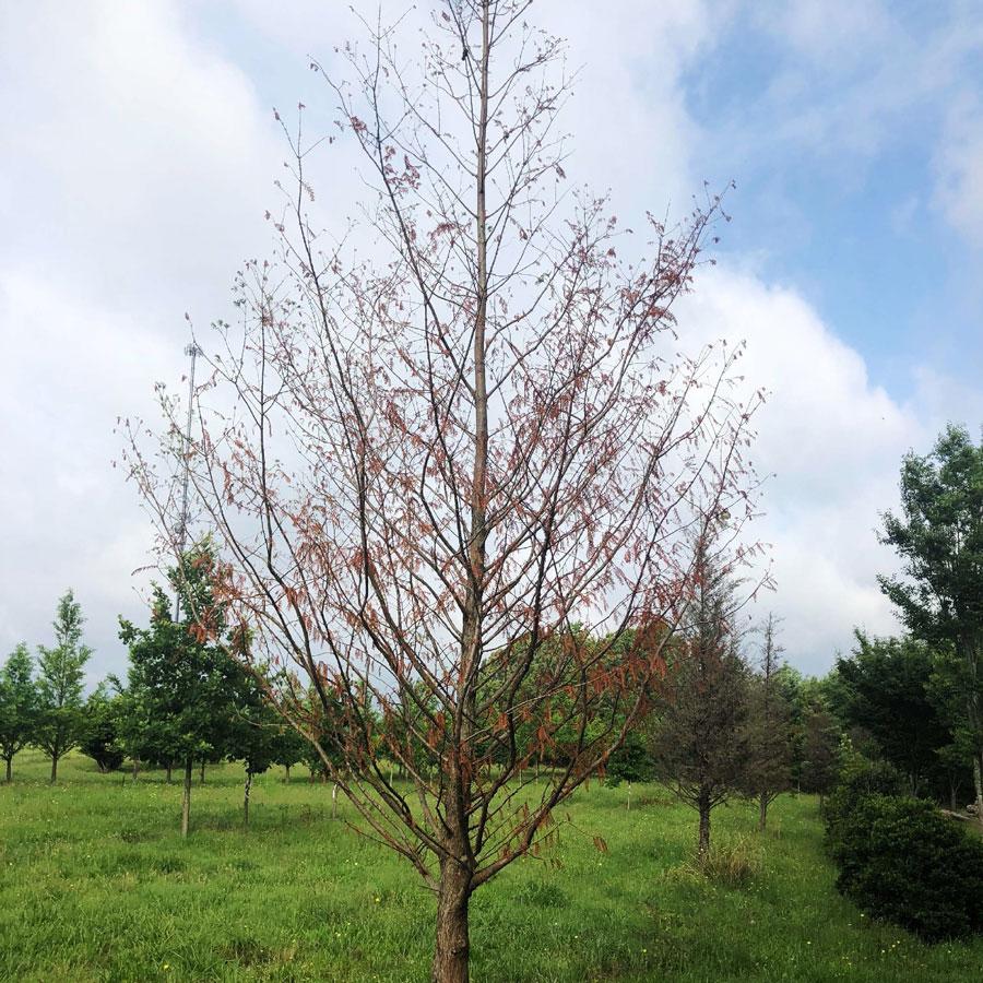 Tree Transplanting Results