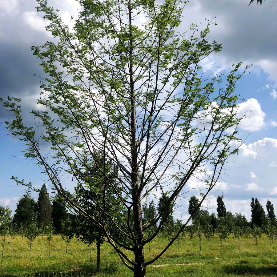 Tree Transplanting Recovery