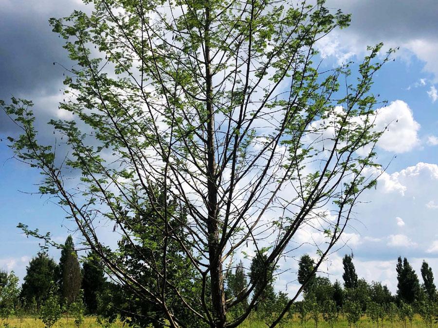 Tree Transplanting After