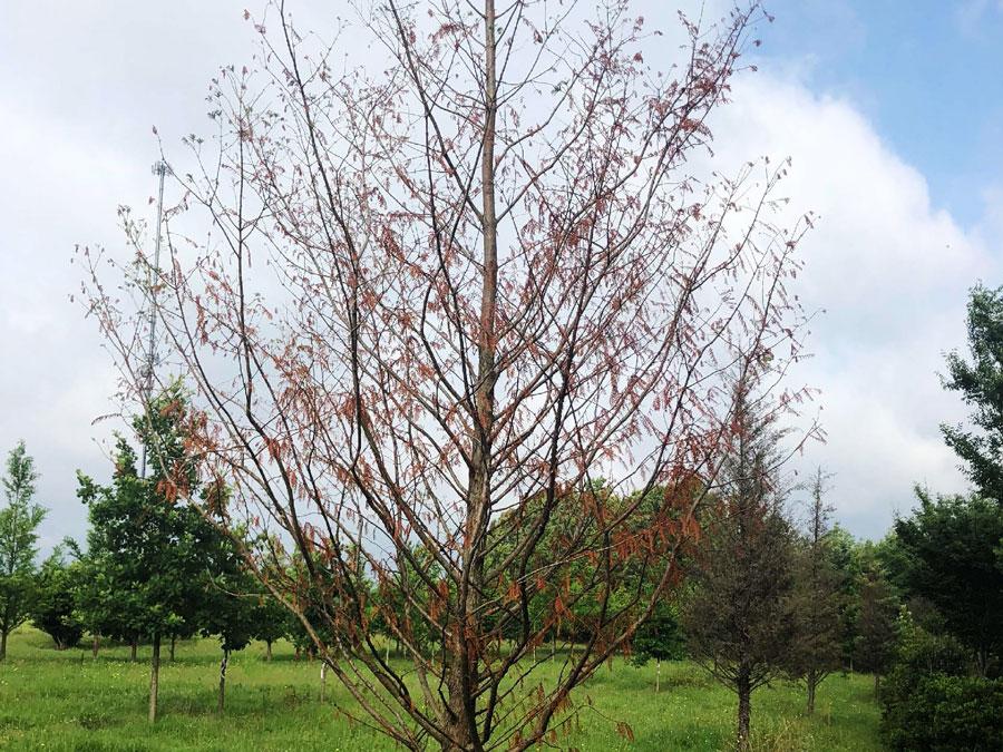 Tree Transplanting Before